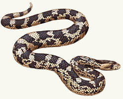 Northern Pine Snake 4 Years Old Customer Collection Only