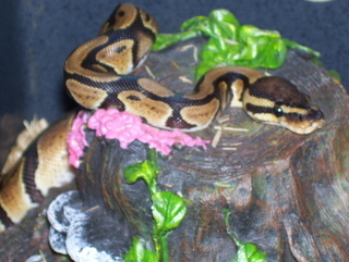 Royal Pythons Guaranteed Strike Feeding