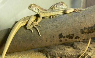 Pet Butterfly Agamas