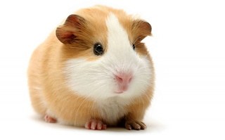 Guinea Pigs Customer Collection Only