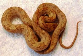 Yellow Rat Snakes
