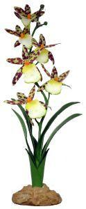 Komodo Spider Orchid 40cm