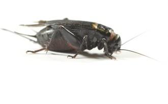 2nd Black Crickets (6-8mm)