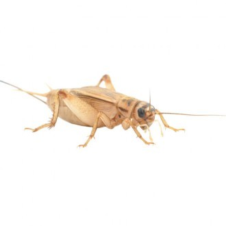 1st Brown House Crickets (3mm)