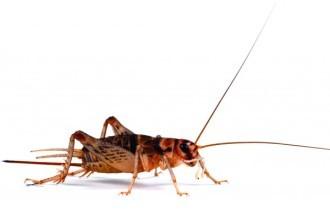 Hatchling banded Brown Crickets (1-2mm)