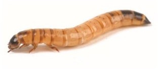 Morioworms Live Larvae (40-50mm)