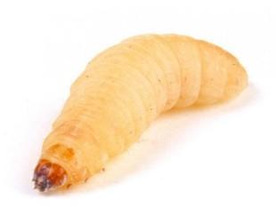 Waxworms Live larvae
